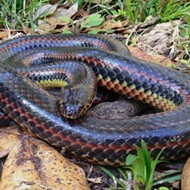 Rare, eel-hunting rainbow snake spotted by hikers in Ocala National Forest