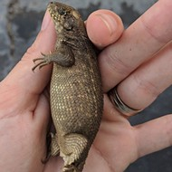 Insanely constipated Florida lizard just broke the record for biggest poop
