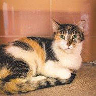 Meet Yuki! She's a 1-year-old spayed female kitty who is friendly with men, women and children
