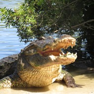 As alligator mating season brings nests across Central Florida, Gatorland reminds you to watch your back