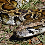 Florida wildlife officials say a 'milestone' 5,000 Burmese pythons have now been removed