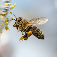 Op-ed: World Honey Bee Day was another reminder that 40 percent of insect species are now threatened with extinction