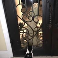 Florida cat utterly unimpressed by alligator knocking on the door