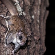 Florida suspects arrested in million-dollar flying squirrel trafficking ring