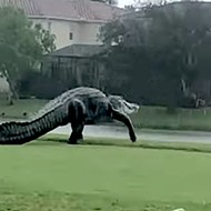 Gigantic alligator takes a leisurely tour around Florida golf course