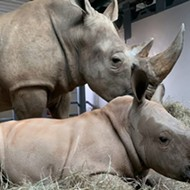 Disney's newest baby white rhino announced his own name in an adorable video