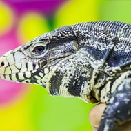 'We've got to put our foot down': Florida ends breeding of non-native tegu lizards and green iguanas