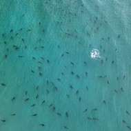 Palm Beach photographer captures blacktip shark swarm near Singer Island