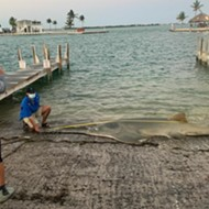 12-foot sawfish that washed up in the Florida Keys is the largest ever recorded