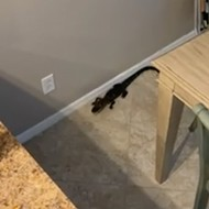 Watch this Tampa woman battle a baby gator who snuck into her kitchen