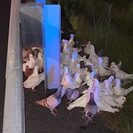 Confused homing pigeons in Florida shut down I-95 exit