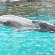 Discovery Cove announces birth of baby dolphin Moby