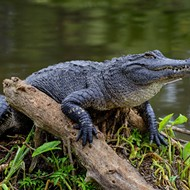 Alligator attacks Central Florida woman who fell into a canal