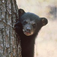 Florida wildlife officials put black bear hunt on hold for at least 2 years