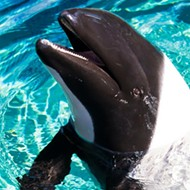 Newborn Commerson's dolphin calf dies at SeaWorld