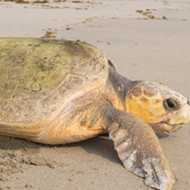 Endangered sea turtles are having a record nesting year on Florida shores