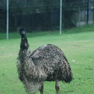 There's an emu running loose in Eustis