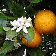 Hurricane Irma absolutely wrecked Florida's citrus crops