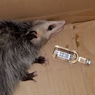 A Florida party opossum broke into a liquor store and got drunk