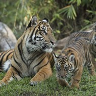 Disney's critically endangered Sumatran tiger cubs are finally here
