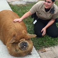 Look at this big-ass hairy pig