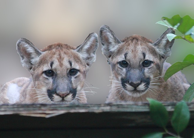 FLORIDA PANTHER CUBS, VIA WIKIPEDIA
