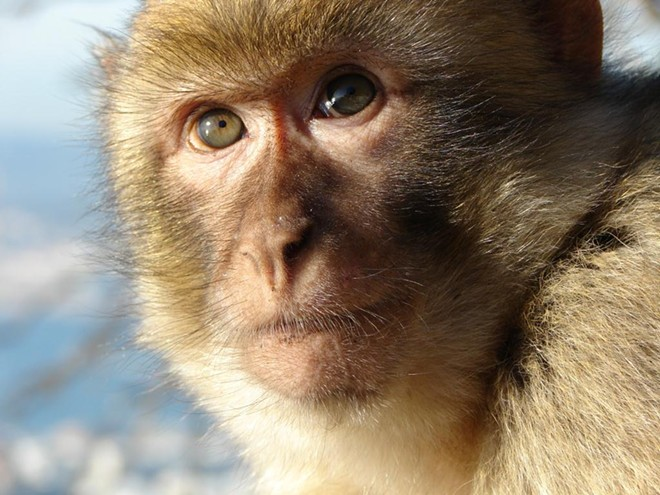 A typical rhesus macaque monkey - PHOTO VIA TUMBLR