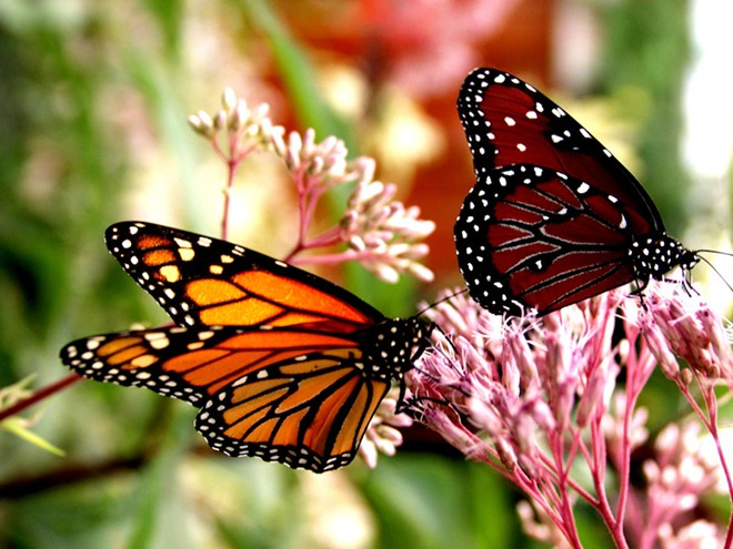 MONARCH AND QUEEN BUTTERFLY ON JOE PYE WEED (COURTESY LEU GARDENS)