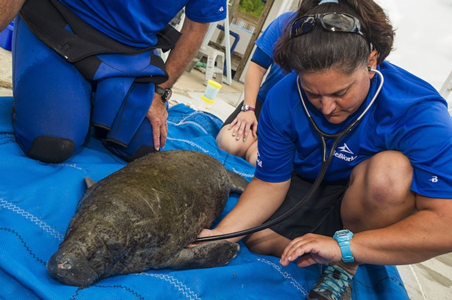 The young orphaned female is being nursed back to health in SeaWorld Orlando's critical care facility. - SEAWORLD