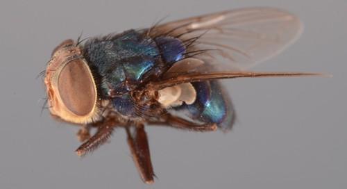Adult screwworm - PHOTO BY LYLE J. BUSS VIA UNIVERSITY OF FLORIDA
