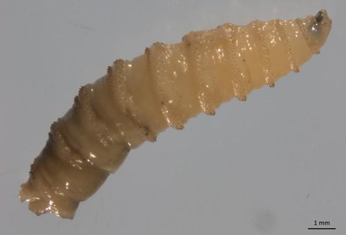 Screwworm larva - PHOTO BY HEATHER STOCKDALE WALDEN VIA UNIVERSITY OF FLORIDA