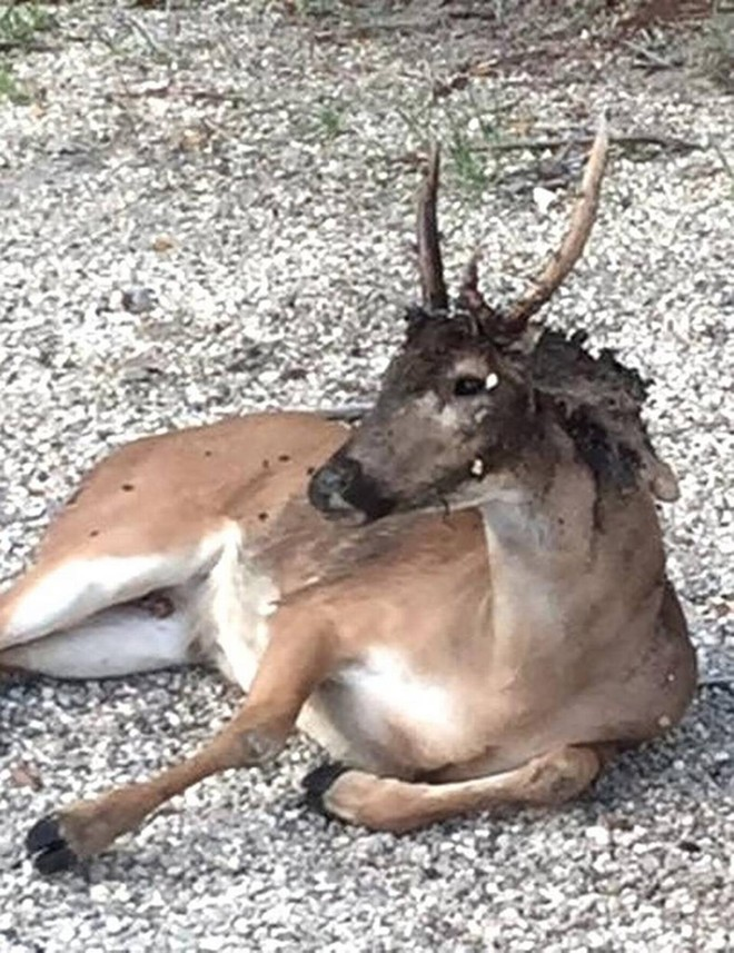 One of the Key deer infected with screwworms. - PHOTO VIA MIAMI HERALD