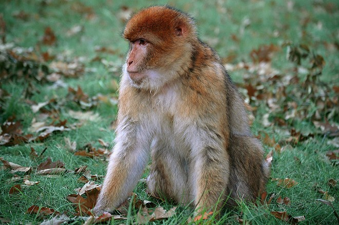 A typical rhesus macaque monkey - PHOTO VIA MARIEKE IJSENDOORN-KUIJPERS/FLICKR