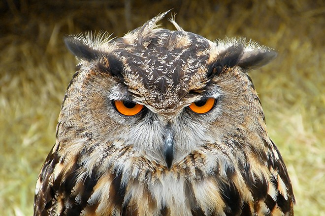 Is this owl sleepy, angry or drunk? If you can pull off all three at once, you can come work with us any time, Mr. Owl. - MARK COLEMAN