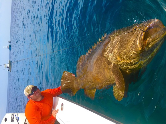 fwc may relax rules on fishing goliath grouper a hearty