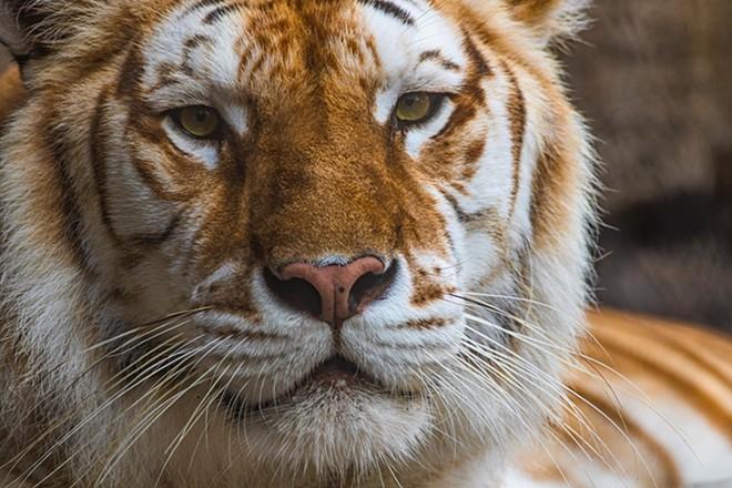 tiger-bg-fb.jpg