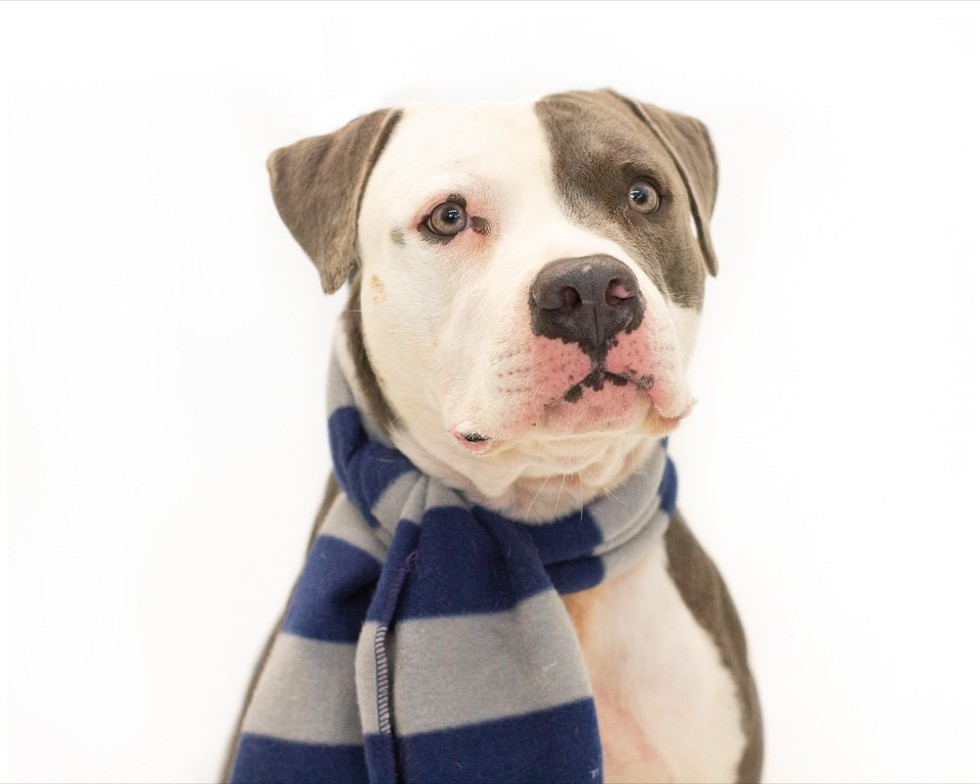 Mr. Blue (A444037) - PHOTO BY PAWSITIVE SHELTER PHOTOGRAPHY