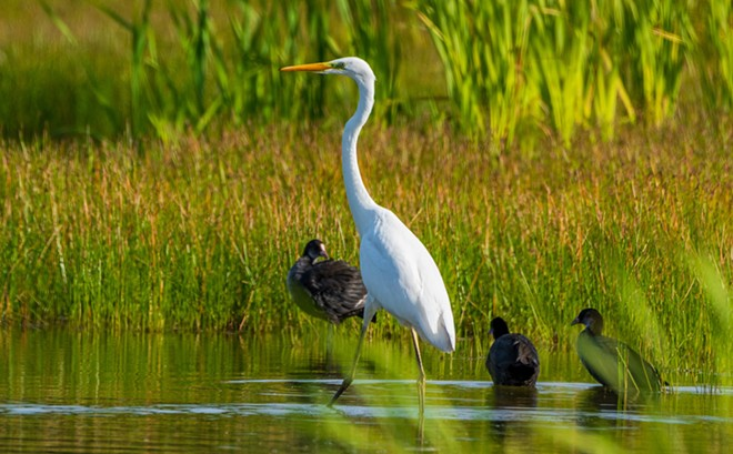 PHOTO OF FLORIDA WHITE HERON VIA ADOBE STOCK