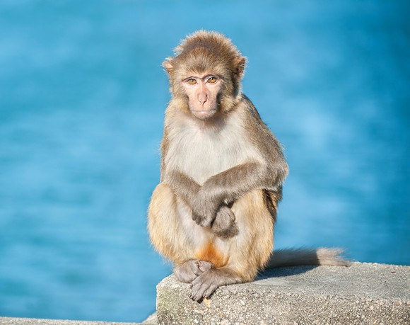 Rhesus macaque - PHOTO VIA ADOBE STOCK