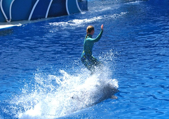 A SeaWorld trainer rides a dolphin - PHOTO VIA MLIU92/WIKIMEDIA COMMONS