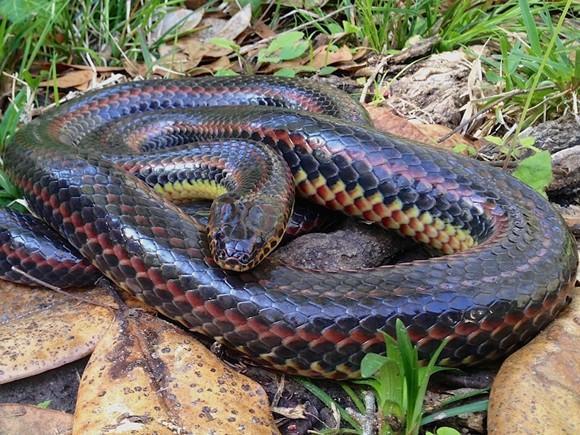 fwc-snake.jpg