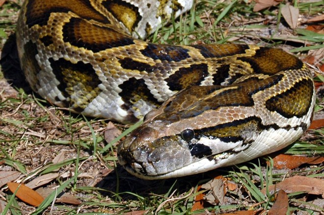 Burmese python - PHOTO VIA MYFWC/TWITTER