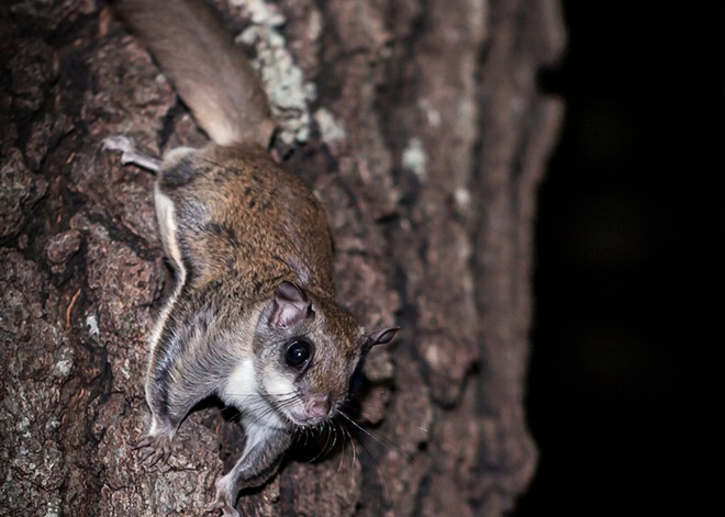 Southern Flying Squirrel - PHOTO COURTESY WIKIMEDIA COMMONS