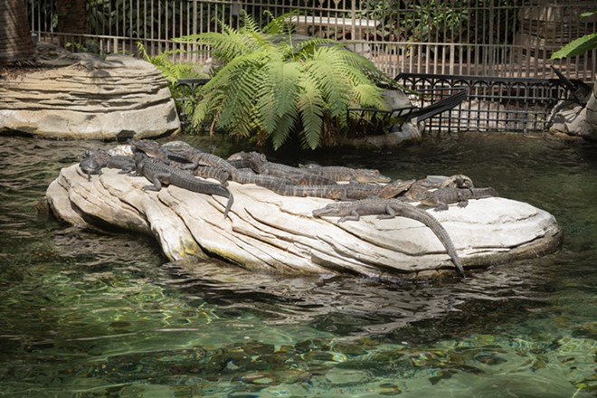 Some of the Wild Florida gators now seen at Gaylord Palms - IMAGE VIA WILD FLORIDA
