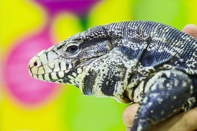 Tegu lizard - ADOBE