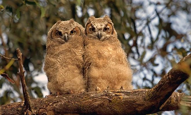 Great-horned owlets - PHOTO BY TOM MUEHLEISEN COURTESY THE AUDUBON CENTER