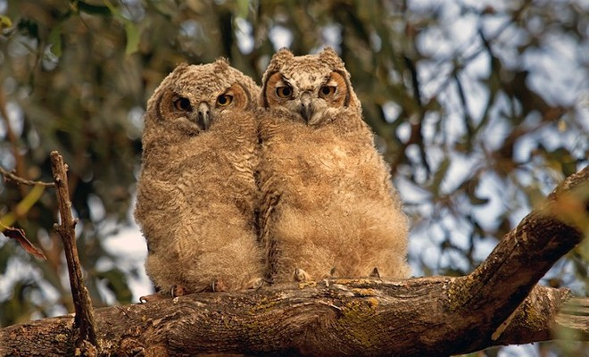 Great-horned owlets - PHOTO BY TOM MUEHLEISEN COURTESY THE AUDUBON CENTER
