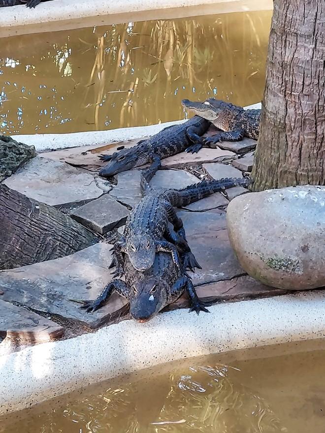 Gators in the Gator Park area at Wild Florida - IMAGE VIA KEN STOREY