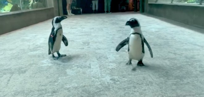 Seven endangered penguins died suddenly at the Florida Aquarium. - SCREENSHOT VIA FLORIDA AQUARIUM/FACEBOOK