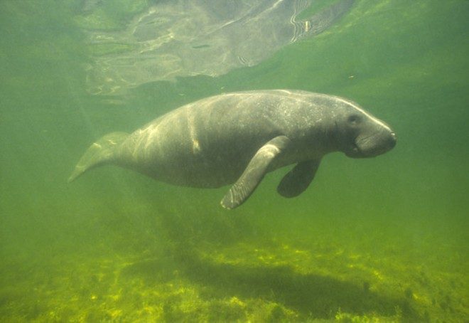 florida_already_broke_its_own_record_for_the_most_manatee_de.jpg